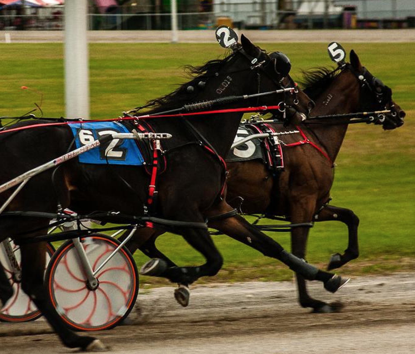 Standardbred horses pull a cart as they race around the track.