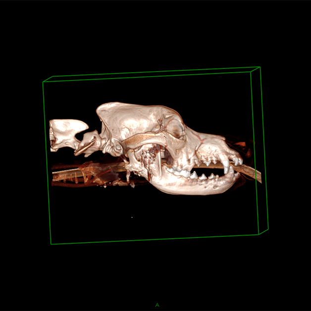 CT scan of dog's head