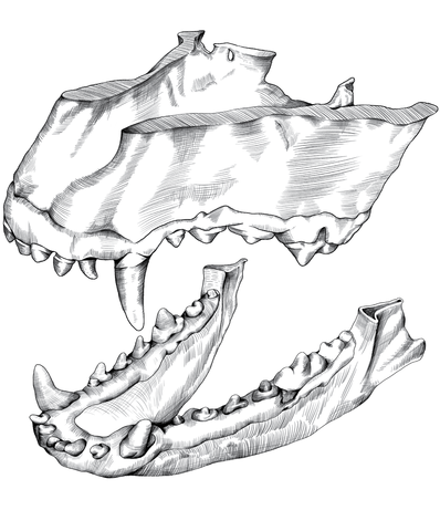 Illustration of healthy canine teeth and jaw