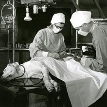 Bee Hanlon performing an operation on a dog