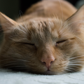 A close-up shot of an orange tabby cat sleeping soundly.